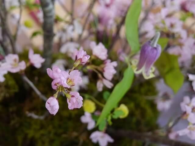 ルミエールアキ、お花見