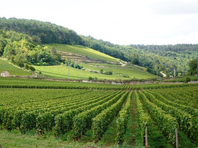 ルミエールアキ:フランス・ブルゴーニュ・畑